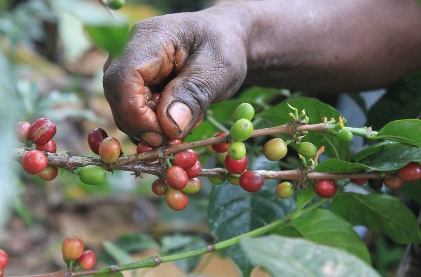 Методы сбора урожая кофе